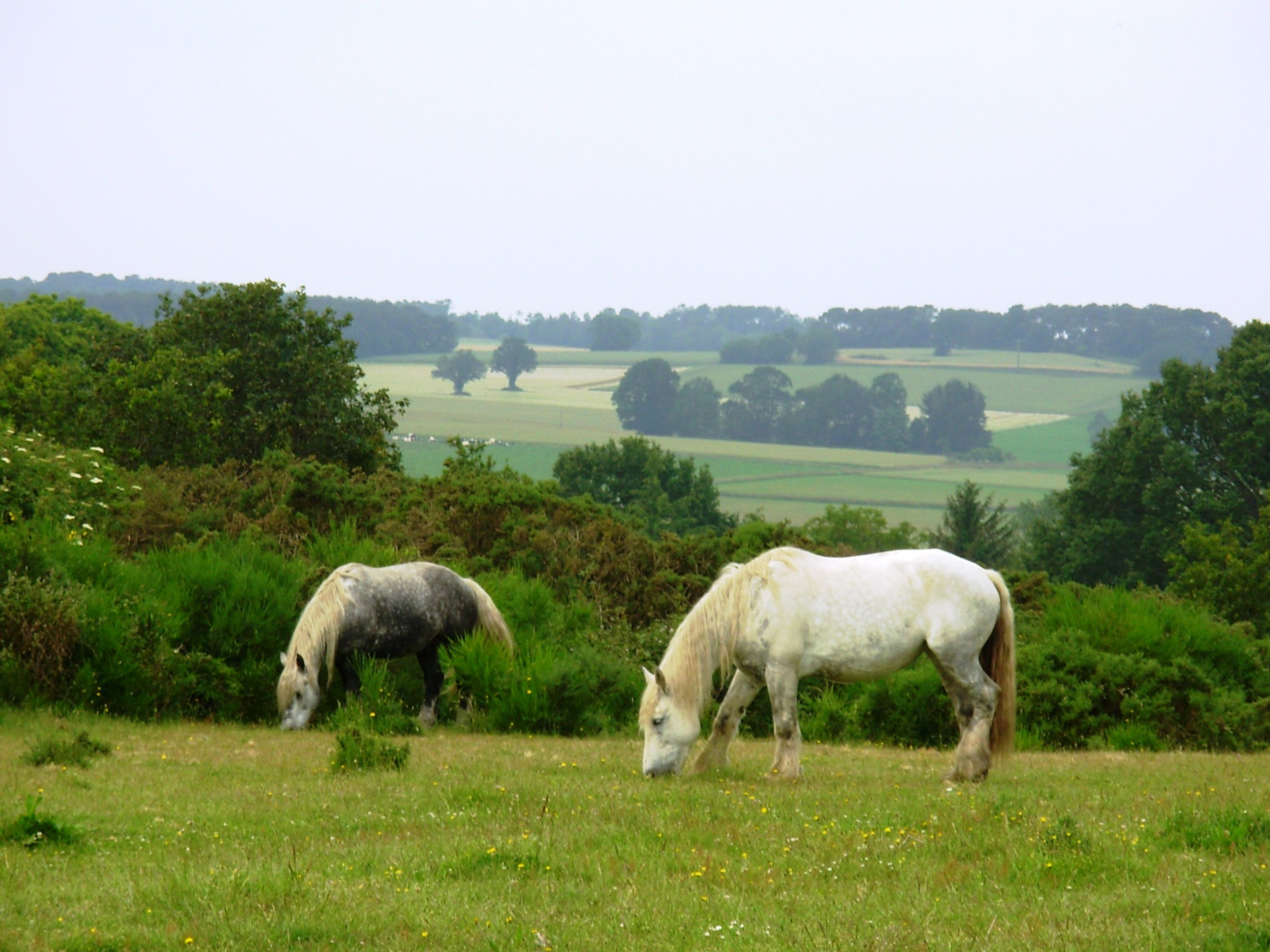 Chevaux blancs paysage